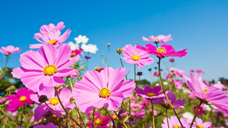cosmos-flower[1].jpg